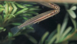 Native Freshwater Fishes